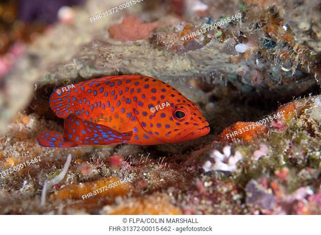 Coral Grouper Cephalopholis miniata adult, sheltering in reef, Batu Kapal, Bandaneira, near Ambon Island, Maluku Islands, Banda Sea, Indonesia