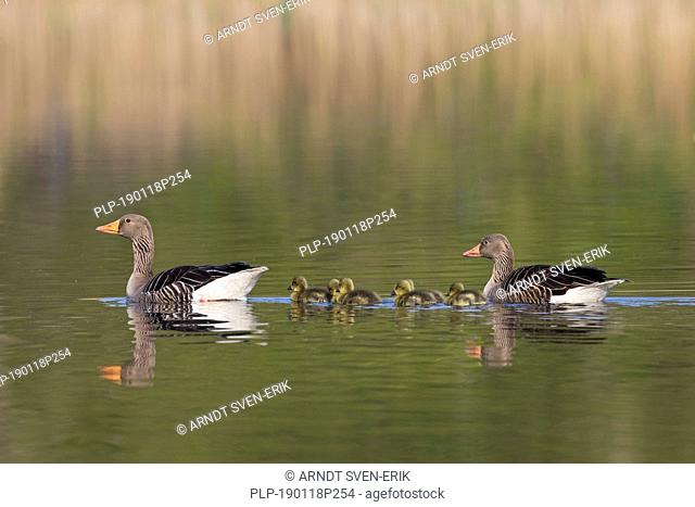 Greylag goose (Anser anser) parents swimming with goslings / chicks in lake in spring