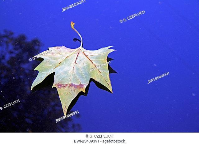 European plane, maple-leaved plane, London plane, London planetree (Platanus hispanica, Platanus x hybrida, Platanus hybrida, Platanus acerifolia)
