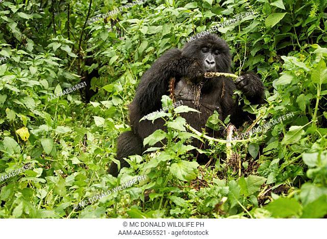 Mountain Gorilla (Gorilla gorilla beringei) Sabyinyo Group, Volcanoes National Park, Rwanda