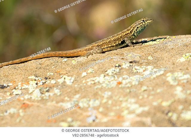 Fence lizard, Carrizo Plain National Monument, California