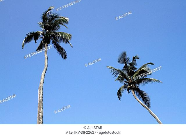 COCONUT PALM TREES; MIDIGAMA, SRI LANKA; 19/03/2013