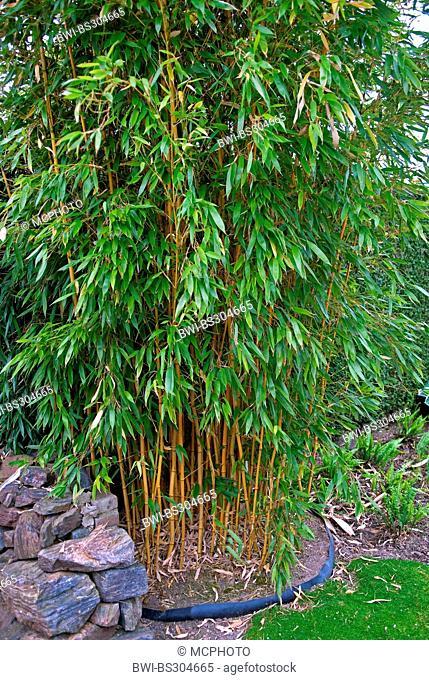 Bamboo (Phyllostachys aureosulcata 'Aureocaulis', Phyllostachys aureosulcata Aureocaulis), cultivar Aureocaulis, Appeltern