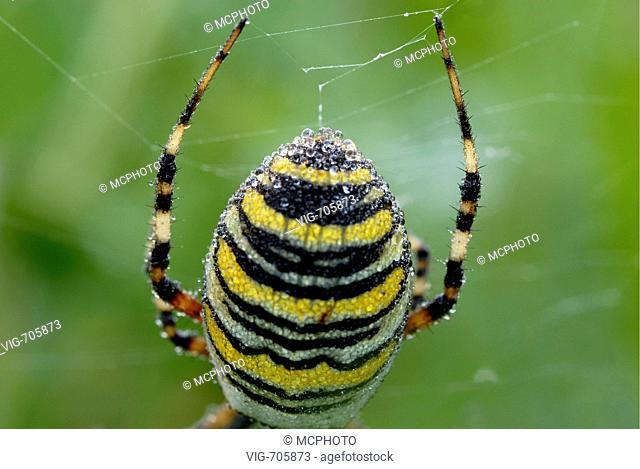 Wespenspinne (Argiope bruennichi) Detail Hinterleib im Netz, Detail Wasp Spider - 19/03/2008