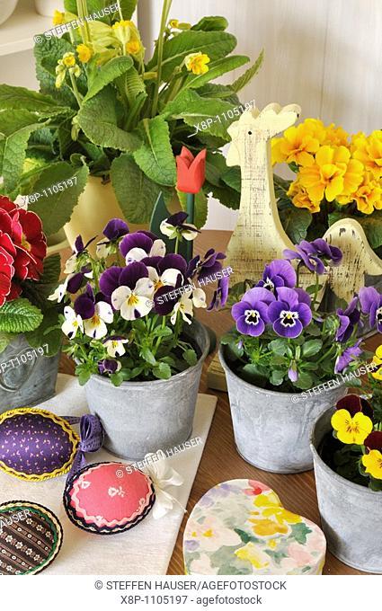 Horned pansies Viola cornuta and primroses Primula vulgaris syn  Primula acaulis