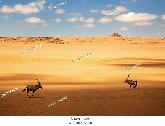 Two oryx standing in the African desert