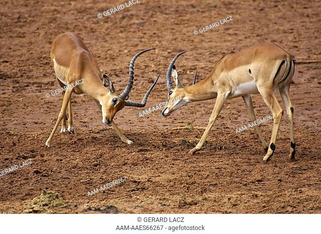 Impala, aepyceros melampus, Males fighting, Masai Mara Park in Kenya