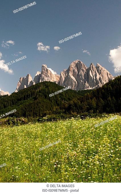 Wildflower meadow and Odle mountain skyline, Funes Valley, Dolomites, Italy