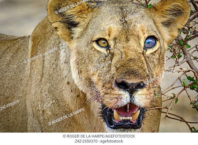 Masai lion or East African lion (Panthera leo nubica syn. Panthera leo massaica) female with a damaged eye . Ruaha National Park. Tanzania
