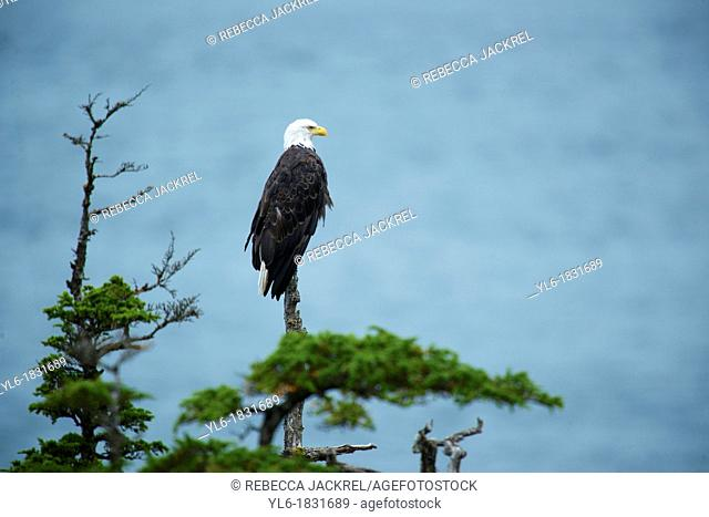 Bald eagle perched in a tree overlooking the ocean