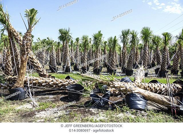 Florida, Immokalee, after Hurricane Irma storm, nursery damage destruction aftermath, fallen palm trees
