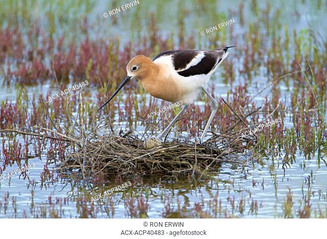 American Avocet Recurvirostra americana adult tending an egg on its nest at the edge of Reed Lake in Morse, Saskatchewan, Canada