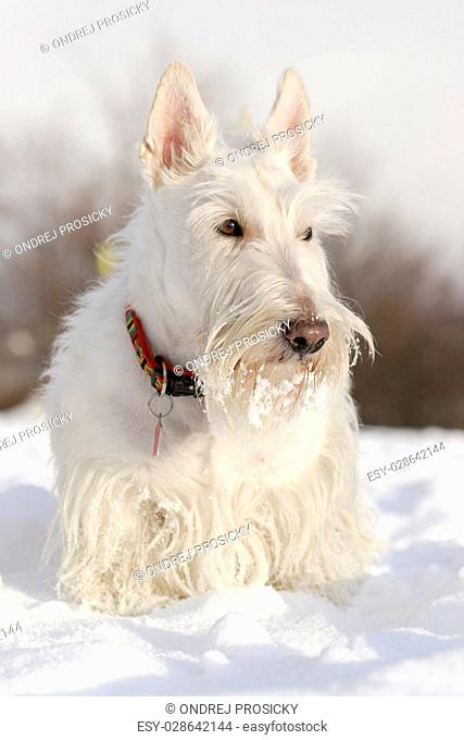 White (wheaten) scottish terrier