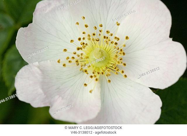 Wild Dog Rose, Rosa canina. Plant used widely for syrups, tea, jellies. Fruit is extremely high in Vitamin C. Products using flower include creams, wine