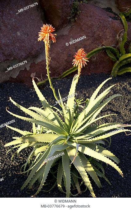 Aloe Vera, aloe barbadensis, blooms   Plant, lily plant, succulent, Blattsukkulenten, Plant abandoned, inflorescence, blooms, fixed plant, useful plant