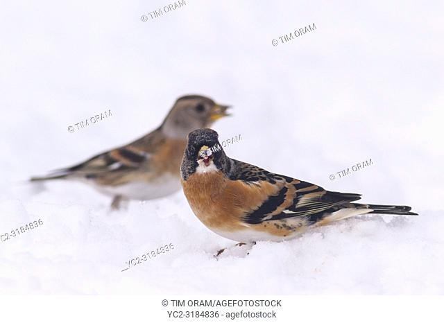 A pair of Brambling (Fringilla montifringilla) with male in foreground feeding in freezing conditions in a Norfolk garden