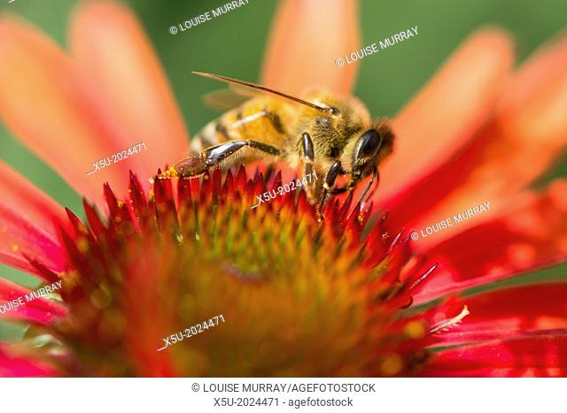Honey bee, Apis mellifera feeding on Echinacea sp., or cone flower nectar. Honey bees are in tourble in many parts of the world but are doing well in urban...