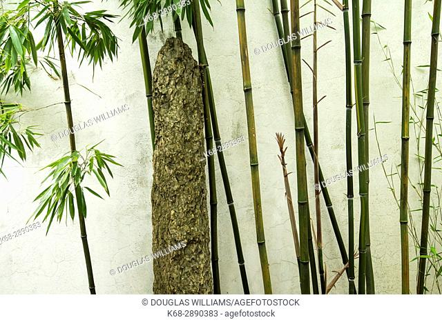 Bamboo grows near a wall at Dr Sun Yat-Sen Classical Chinese Garden, in Chinatown, Vancouver, BC, Canada