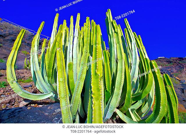 spain,canary islands, la palma : punta gorda port, euphorbia canariensis