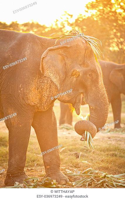 asian elephant eating grass showing trunk with grass in mouth