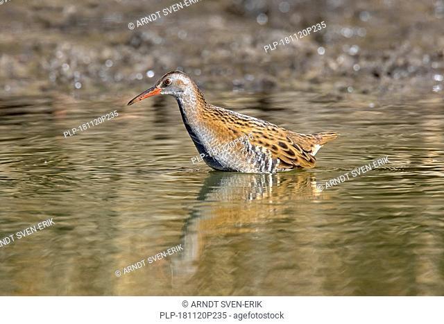 Water rail (Rallus aquaticus) foraging in shallow water in wetland / marsh / marshland