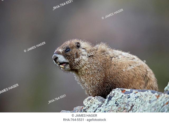 Yellow-bellied marmot (yellowbelly marmot) (Marmota flaviventris) calling, San Juan National Forest, Colorado, United States of America, North America