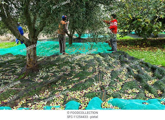 Men harvesting olives