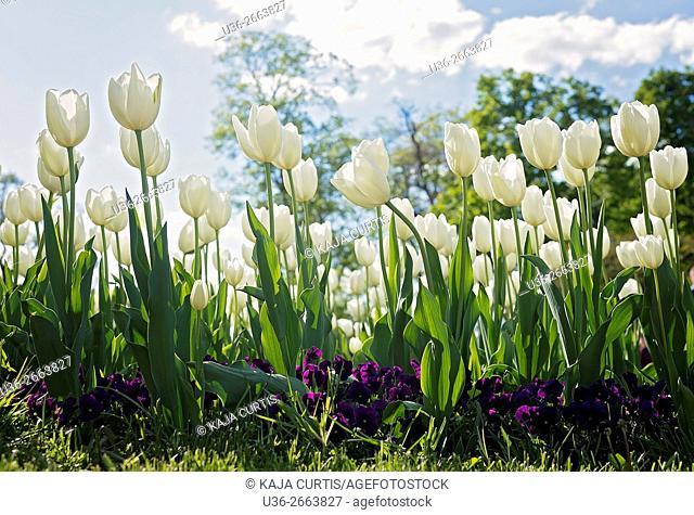 Tulips, Stromovka Park, Prague, Czech Republic