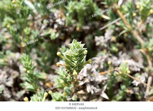Flowers and leaves of Crucianella maritima. Photo taken in dunes of Carabassi beach, Elche, Valencian Community, Alicante, Spain, by the Mediterranean Sea