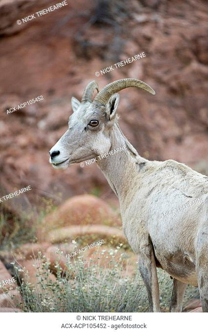Desert Bighorn Sheep, Ovis canadensis nelsoni perch on a rocky out crop Southern Utah, USA