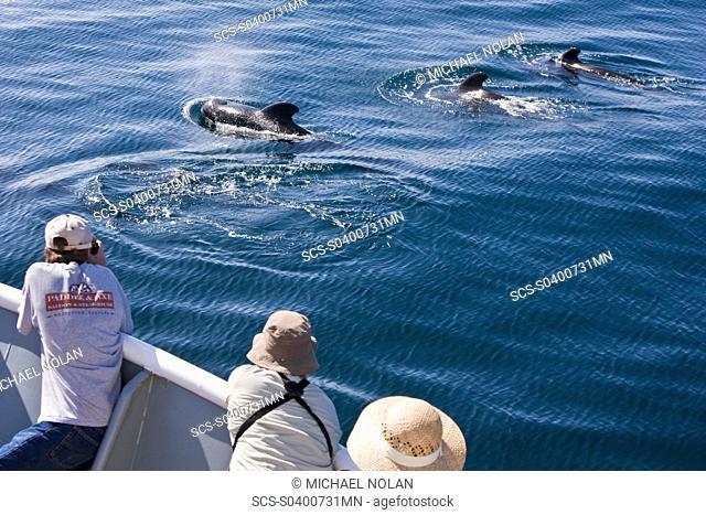 A pod of 40 to 50 short-finned pilot whales Globicephala macrorhynchus encountered southwest of Isla San Pedro Martir in the midriff region of the Gulf of...