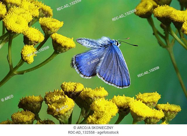 Common Blue male Polyommatus icarus side