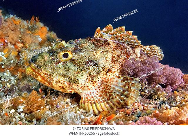 Eastern Red Scorpionfish, Scorpaena cardinalis, Poor Knights Islands, New Zealand