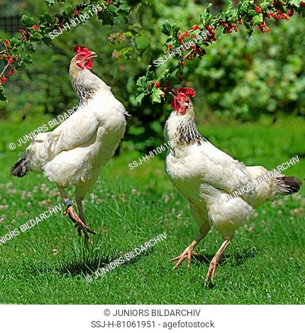 Domestic chicken, two jumping up to pick ripe red currants (Ribes rubrum)