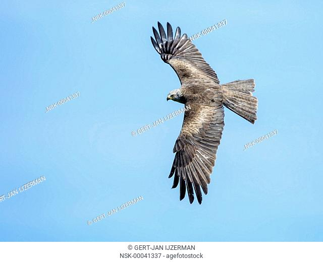 Black Kite (Milvus migrans) in flight, Germany, Eifel
