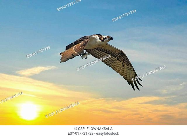 Osprey flying away from sunset with fish