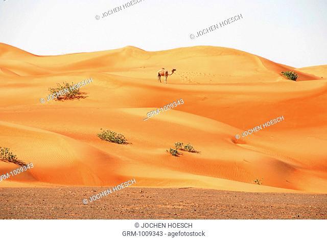 Camel in the desert near Al Ain, United Arab Emirates