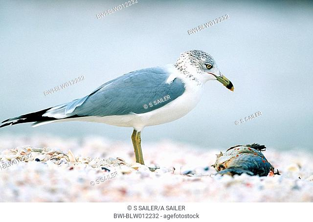 ring-billed gull Larus delawarensis, Jan 98