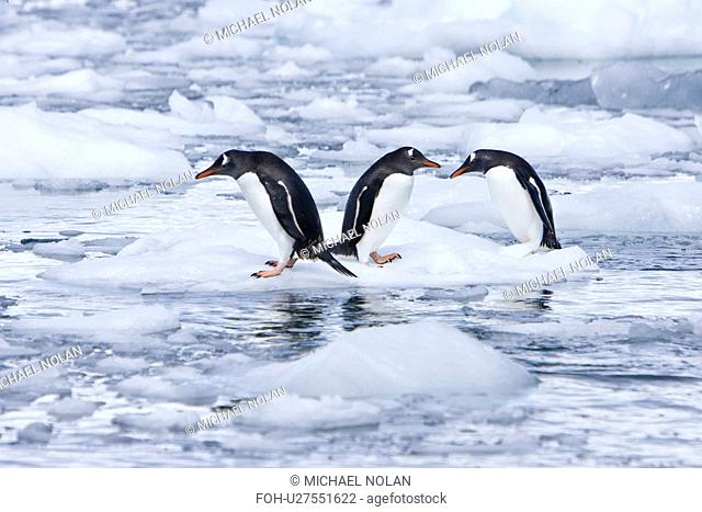 Adult gentoo penguins Pygoscelis papua swimming and playing on small growlers in Neko Harbour in Andvord Bay, Antarctica