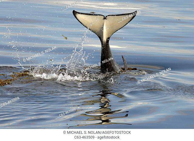 Young Orca (Orcinus orca - also known as killer whale) tail-lobbing in Southeast Alaska, USA