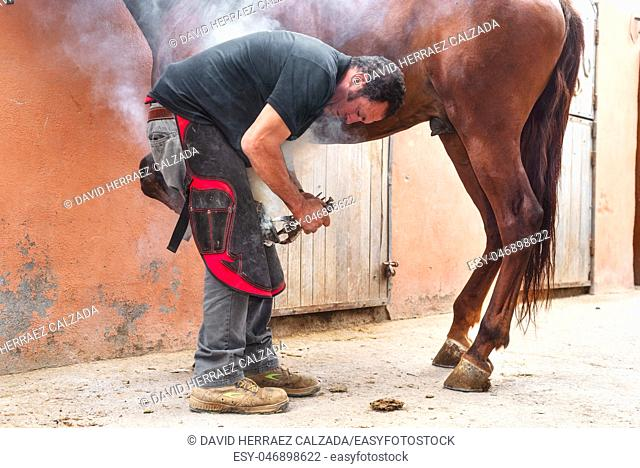 farrier placing the hot shoe on the horse's hoof