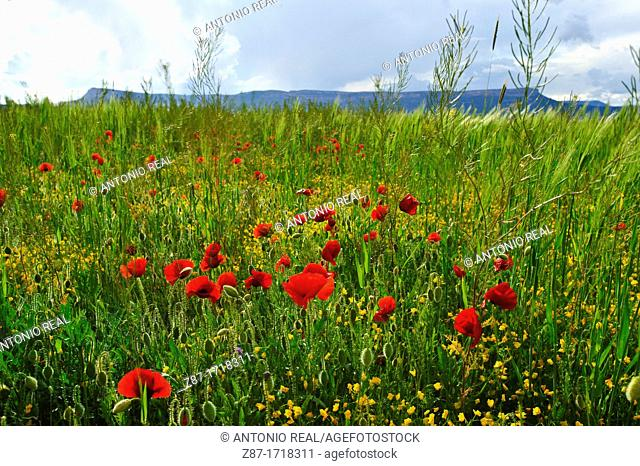 Campo verde con amapolas Papaver roheas  Almansa  Albacete