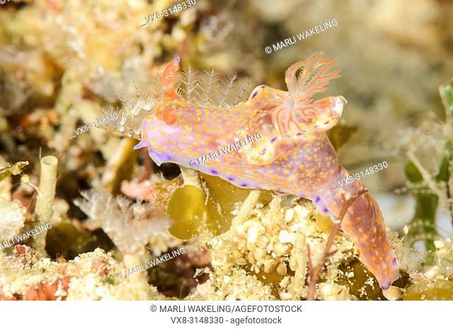Ceratosoma gracillimum, Puerto Galera, Oriental Mindoro, Philippines, Pacific