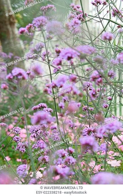 Bush with purple flowers in a garden