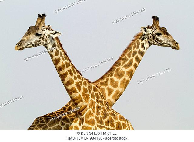 Kenya, Masai-Mara Game Reserve, Girafe masai (Giraffa camelopardalis)