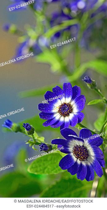 Blue cineraria flowers in garden