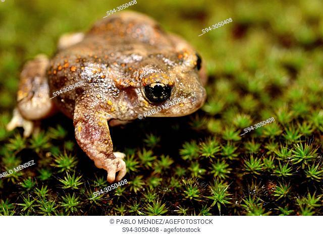 Iberian midwife toad (Alytes cisternasii) in Valdemanco pond, Madrid province, Spain