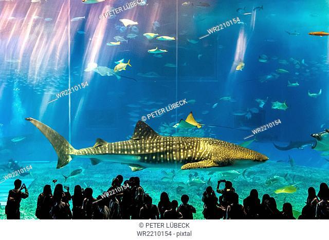 Whale shark and students at the Okinawa Churaumi Aquarium, Japan