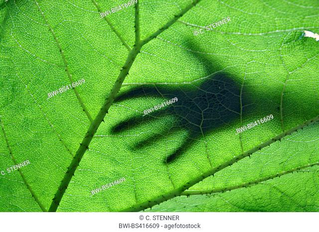 giant gunnera (Gunnera manicata), detail of a leaf in backlight with silhouette of a hand