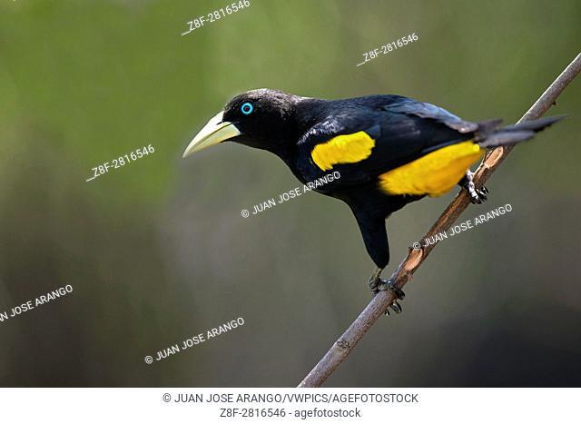 Yellow-rumped Cacique (Cacicus cela), Reserva natural palmari, Brazil